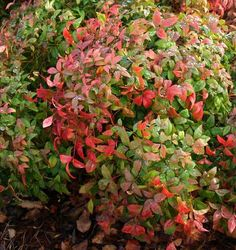 The Nandina is a wonderful shrub in full sun or some shade. The Nandina is also low maintenance.