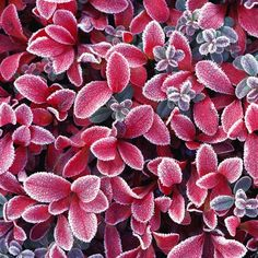 Vallidina Burwood - Add a little winter color in your garden with this shrub that will withstand the frigid temperatures.