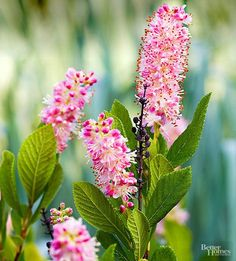 Best Flowering Shrubs for Hedges Ruby Spice Summersweet Clethra (2 feet tall in full gallon containers) Fragrant red pink summer blooms!