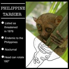 The Philippine Tarsier is a unique species endemic to the Philippines. It has gone unchanged for the past 45 million years, but now faces modern day perils.