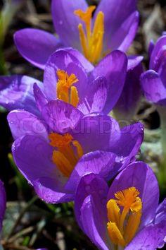 Very beautiful flowers of crocuses ♥g♥