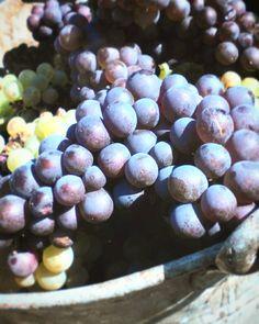 """Páči sa mi to: 25, komentáre: 3 – Klára Murinová (@clara_912) na Instagrame: """"Prvá prax 😜 #wine #wineyard #oberacka #hrozno #🍇 #❤ #svosmo #winelovers"""""""