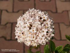 Japanese Snowball Bush | Kalina burkwoodova Mohawk | Viburnum burkwoodii Mohawk