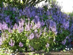 Plectranthus ecklonii is one of the most outstanding medium shrubs for a shady garden.