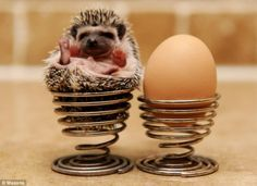 "Adorable, but.....who wakes up and thinks ""you know what I should do today? put a hedgehog in an egg cup, that's what!"""