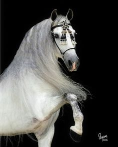An example of a grey Andalusian like Matthew's mother Ysabeau's horses. Nar Rakasa ('fire dancer') and Fidat ('Silver').