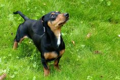 Dachshund Training: 10 Useful Tips to Properly Train a Dachshund Puppy Best Family Dog Breeds, Best Dog Breeds, Family Dogs, Perros Rat Terrier, Dachshund Puppies, Weiner Dogs, Black Dachshund, Dapple Dachshund, Home