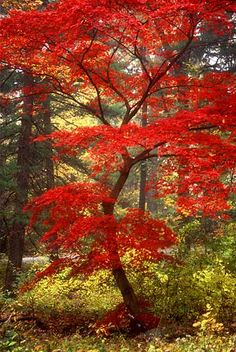 Japanese maple; New York State, along the Hudson; this is one of my husband's favorite types of trees. the vibrant color of the leaves is breathtaking!