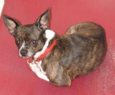 Sweet Buddy is an adoptable Chihuahua Dog in South Royalton, VT. Sweet Buddy is around 7 years old. He has this name for a reason. He is a very sweet dog. He loves people and will follow you anywhere ...