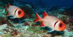 Myripristis botche - Blacktip soldierfish  by Philippe Guillaume