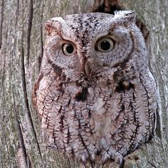 ~~ Eastern Screech Owl ~~ this is some great owl camouflage ~~