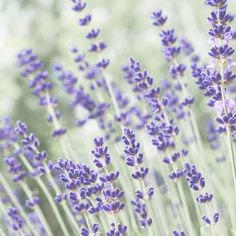 Lavender Love, Keeping With the Times, Friday Finds