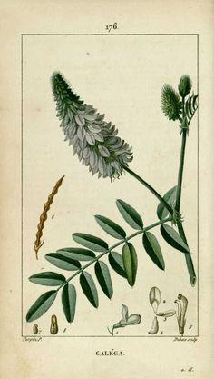 img/dessins-gravures de plantes medicinales/galega, lavanese, rue de chevre.jpg