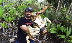 Mark Pierrot was brave enough to pick up the massive coconut crab, the largest crab on land, and hold it for the camera as he visited the jungle on Christmas Island in the Indian Ocean.
