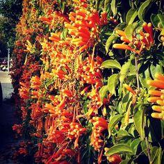 אורנית לוהבת www.houseplant.co.il #ירוקועוד #גנןבתלאביב #גנןנוי #גנןמומלץ #תומרלוי