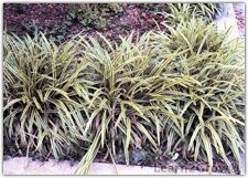 """Liriope: Even before Southern Living magazine became the style guide for the quintessential """"Southern look,"""" Liriope was popular. We see it everywhere – here as a groundcover, there bordering a walkway and over yonder edging a flower bed. Southern gardeners just can't get enough of this tough, reliable plant."""