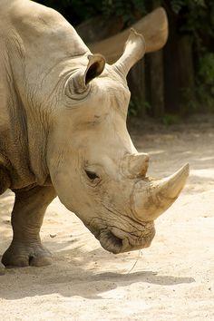 White Rhino                                                                                                                                                     More