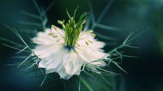 Nigella damascena by Andreas Steegmann on 500px