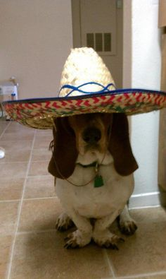 a basset hound in a sombrero. A BASSET HOUND IN A SOMBRERO. Ok, know what I am getting Penny for Christmas... Yes, a sombrero for The basses set hound for Christmas!