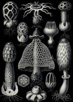 Fungi - Club fungi Art Forms in Nature, plate 63 ~ Ernst Haeckel Mushroom Spores, Mushroom Art, Mushroom Ideas, Mushroom Drawing, Art Nouveau, Nature Illustration, Botanical Illustration, Science Illustration, Art Illustrations