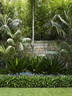Layering - Bamboo, sandstone wall, Kentia palms, Fucrea Foetida, Senecio sp, ginger hedge  Lawn  | William Dangar  Associates Landscape designers