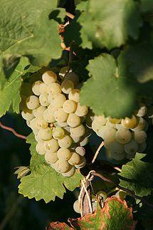Kerner (grape)