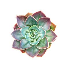 Succulent art print made from original watercolor painting of vibrant Morning Light echeveria
