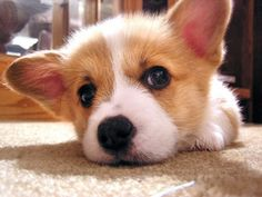 baby corgi i want one so bad! Baby Corgi, Cute Corgi, Corgi Dog, Cute Baby Animals, Animals And Pets, Funny Animals, Cute Animal Pictures, Poodles, I Love Dogs
