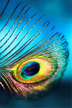 oceani One if the symbols if India the beautiful Peacock....close-up if a feathet