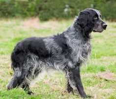 Blue Picardy Spaniel - rare breed originating from Picardy, France. Dog Breeds List, Rare Dog Breeds, Dog Breeds Pictures, Dog Pictures, Spaniel Breeds, Spaniel Dog, Spaniels, Rare Dogs, Purebred Dogs