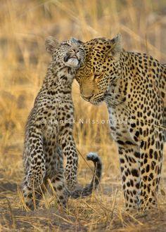 Leopards and Cheetah - hnilsson