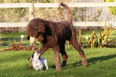 Whirly and friend. My Brown standard poodle, and a cocker pup.