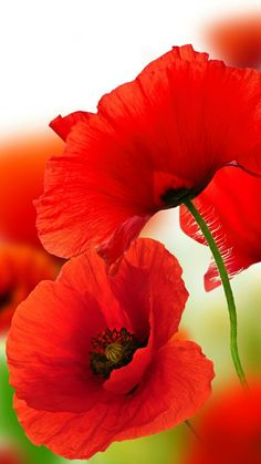 red poppies poppy God's Creations Exotic Flowers, Red Flowers, Beautiful Flowers, Pictures Of Poppy Flowers, Art Floral, Red Poppies, Flower Photos, Belle Photo, Watercolor Flowers