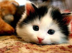 A kitten with hamster cheeks. Can life get any better?