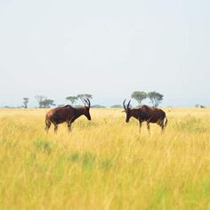 Presenciar la lucha animal mientras conduces tu propio todo terrerno por un parque nacional en Uganda ha sido una de las experiencias más impactantes que he tenido y que no olvidaré!