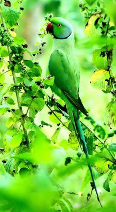 Beautiful green parrot.