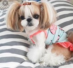 I Adorable Shih Tzu. It's better than dressing up my Barbie dolls when I was young. How adorable would it be if she had a Ken Shih Tzu with her. Shih Tzu Hund, Perro Shih Tzu, Shih Tzu Puppy, Shih Tzus, Dog Grooming Styles, Puppy Grooming, Shih Tzu Hair Styles, Cute Puppies, Cute Dogs