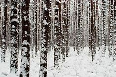 Winter Forest - perfect for chaga hunting
