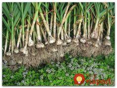Podelím sa s vami o veci, ktoré mňa naučila moja rodina ohľadom pestovania cesnaku. Keď sa držím tohot o bohatú úrodu mám vždy postarané. Aj keď sú zlé roky! Čo treba vedieť? Úrodná piesčitá pôda je na