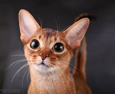Abyssinian cat Those EYES!
