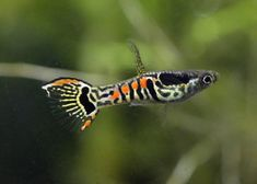 Guppy-Endler@