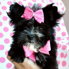 Black and white morkie! I would love to have one that is black and white!