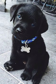 Cutest black lab puppy