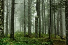 A foggy morning in a Maine woods. - Mabry Campbell/Getty Images
