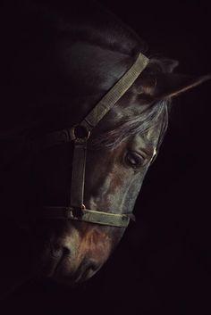 Chilean Horse caballo chileno chile corralero elqui