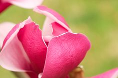 A macro photograph of a bloom of a March till frost Magnolia.