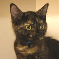 Adopted- Iris is a 3 month old, female domestic shorthair tortie. Iris is a sweet and gentle girl. She loves to hang out with her sister Willow but also likes to be with people. She loves to play with toys and when she is tired she will happily sit with you. Iris is hoping to find a forever home where she will be adored and loved. www.poainc.org #tortie