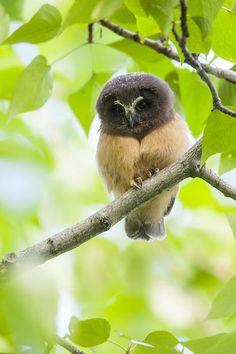 Fledgling Saw-whet Owl