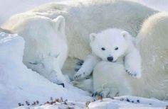 Polar Bear with funny cute baby - (ijsbeer en baby) Baby Polar Bears, Cute Polar Bear, Cute Bears, Bear Cubs, Panda Bear, Tiger Cubs, Tiger Tiger, Bengal Tiger, Arctic Animals