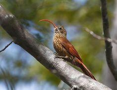 Foto arapaçu-beija-flor (Campylorhamphus trochilirostris) por Hector Bottai